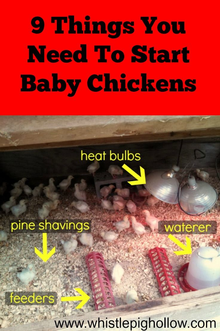 Starting Baby Chickens: 9 Things You Need | Whistle Pig Hollow