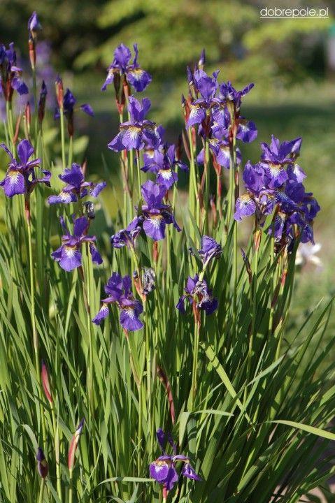 "Szkółka Bylin ""Dobrepole"" (Iris sibirica - kosaciec syberyjski)"