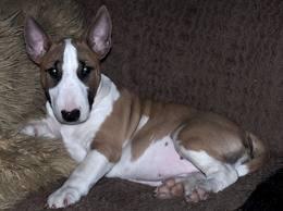bull terrier photo gallery -