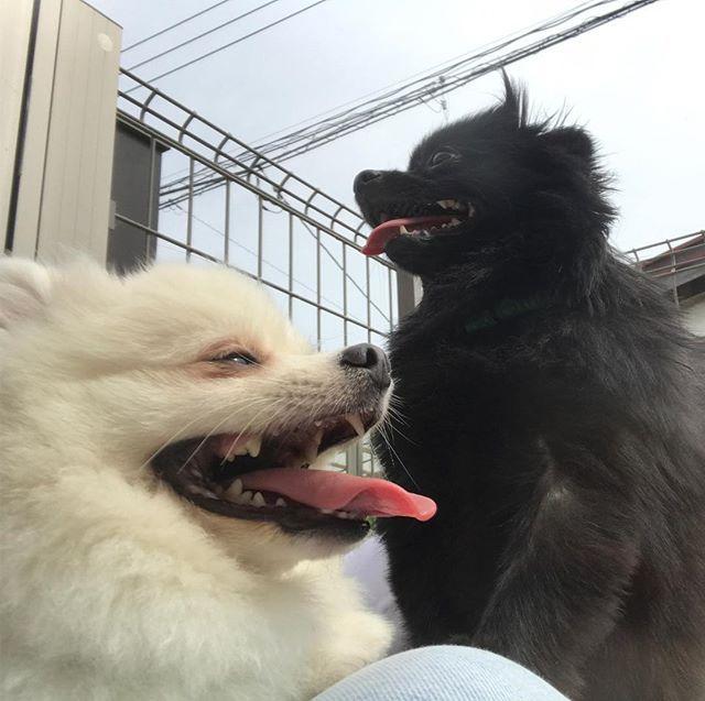 . SMILE😆😝 . #Smile#happy#pomeranian#dog#dogstagram  #l4l #l4f #love #like #instgood #white#black#cute #犬#愛犬#可愛い#ポメラニアン#ポメラニアンが世界一可愛い #オセロ#白#黒#いい笑顔#いぬバカ部