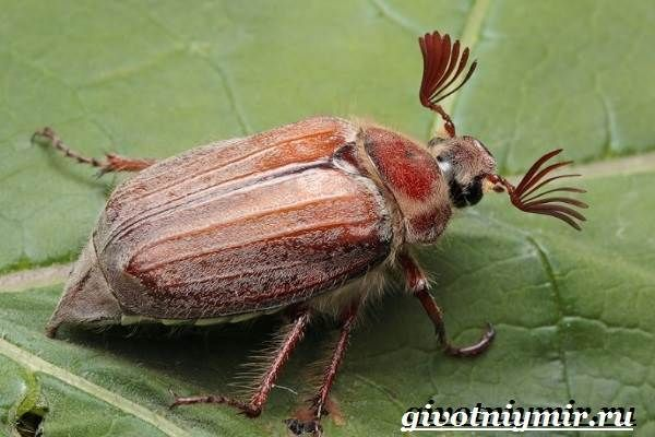 Майский-жук-насекомое-Образ-жизни-и-среда-обитания-майского-жука-1