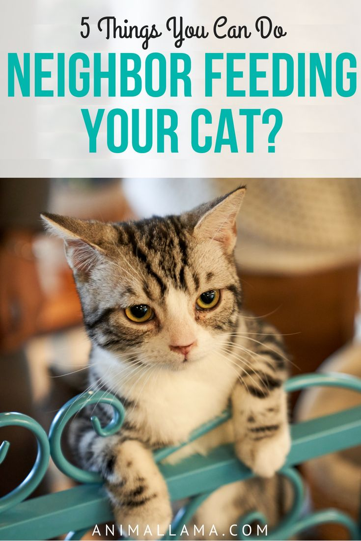 If your neighbor is constantly feeding your cat, she can become overweight, it can affect her health and many other things. Here are 5 possible solutions if your neighbor is feeding your cat. #cats #cats #neighbors #catfood