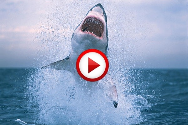 Shark Riders Video #extreme, #sharks, #diving, #riders, #videos, #pinsland, https://apps.facebook.com/yangutu