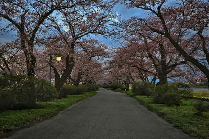 Musim semi di tokyo