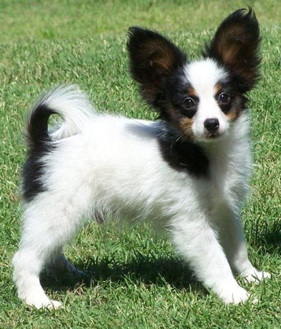 Look up papillons. They're really great family dogs and they are small too!
