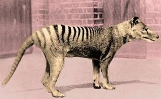 The Tasmanian Tiger was neither a feline nor a canine. Both genders had the marsupial pouch and the female carried an average of 3 joeys per litter. The coming of Europeans sealed its fate as they were labeled as livestock predators, and bounties were put in place. The last known Tiger to be killed in the wild was gunned down in 1930. A few remained in zoos with the last dieing in captivity in 1936. Fifty years passed without one being discovered so it was listed as officially extinct in…