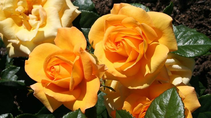Engelske roser erobrer norske hager. Med en slående duft og blomstrende egenskap som gir glede hele sommeren.