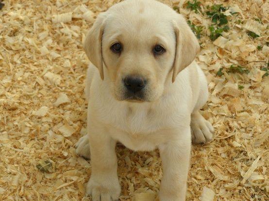 Yellow Lab-rador Retriever Dog