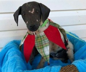 Sammy is an adoptable chinese crested dog searching for a forever family near North Wales, PA. Use Petfinder to find adoptable pets in your area.