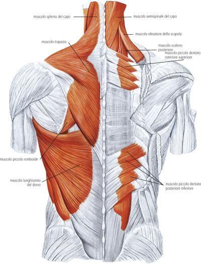 muscoli dentati posteriori - Cerca con Google