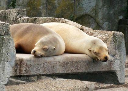 Luierende zeeleeuwen. Relaxing, lazy sea lions. Kaartje2go - creagaat dieren