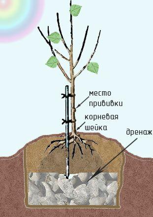 Как посадить саженец!