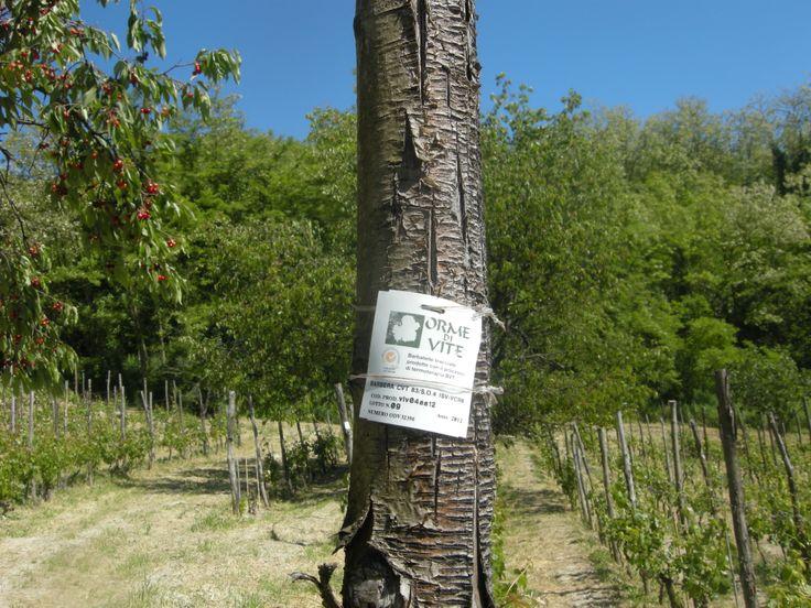 Viti di qualità #vini