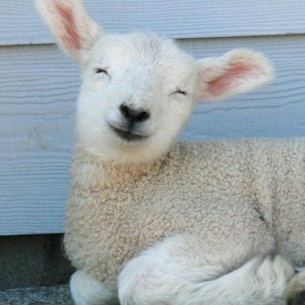 Happy sheep :-)