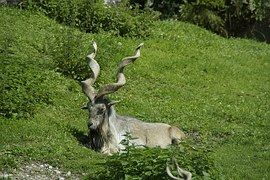 Capricorn, Alpine Ibex, Alpine, Concerns