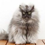 Colonel Meow can now add Guinness Record holder to his other accomplishments, which include things like internet meme and social media star.