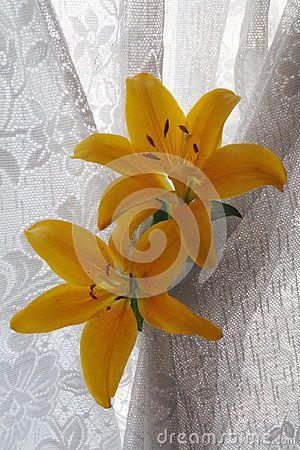 Yellow  lily flower , Lilium Dauricum