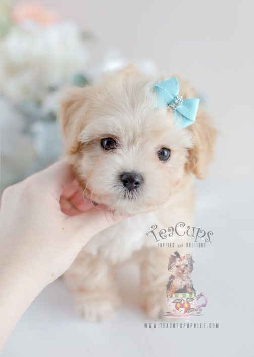 Maltipoo Puppy For Sale 055 Teacup Puppies (With images