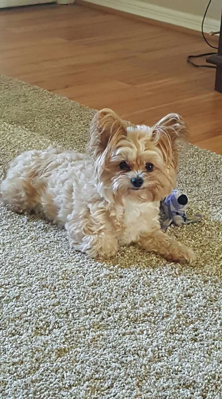 where can i buy a teacup yorkie 17 best ideas about mini yorkie on pinterest teacup 3213