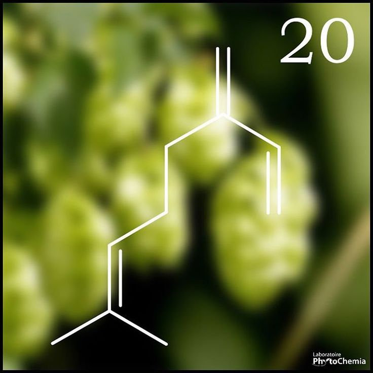 25 days of #PhytoChristmas : Chemistry Edition ! ********************************************** I'm the main monoterpene in essential oil of this plant which is used to give bitterness and flavor to beer. What am I?  Yesterday's answer : Lignine  #phytochemia #teamphytochemia #phytofamous #laboratory #lab #essentialoils #chemistryisfun #scienceisfun #phytochemistry #saguenay #quebec #phyto #scienceoninstagram #chemist #chemistry #scientist #sciencelover #naturalproducts #instascience #uqac