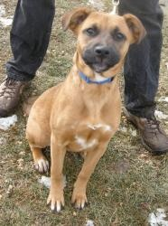 Nugget is an adoptable Boxer Dog in Meadowlands, PA. My name is Nugget. I was abandoned in a field. The animal control lady brought mre to AR to get a great home, I am a little shy but every day I fee...