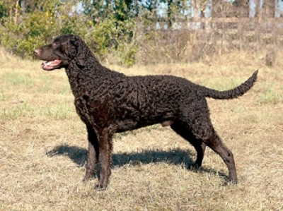 13 best curly coated retriever images on pinterest curly