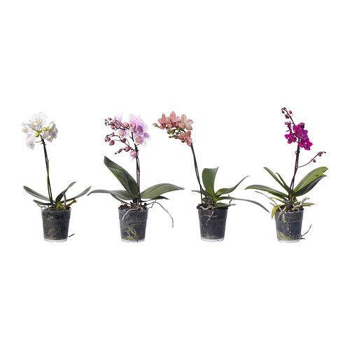 PHALAENOPSIS Potted plant IKEA Decorate your home with plants combined with a plant pot to suit your style.