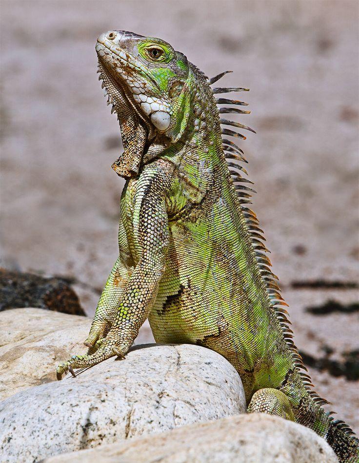 Grüner Leguan - Wildlife - http://fc-foto.de/27260876