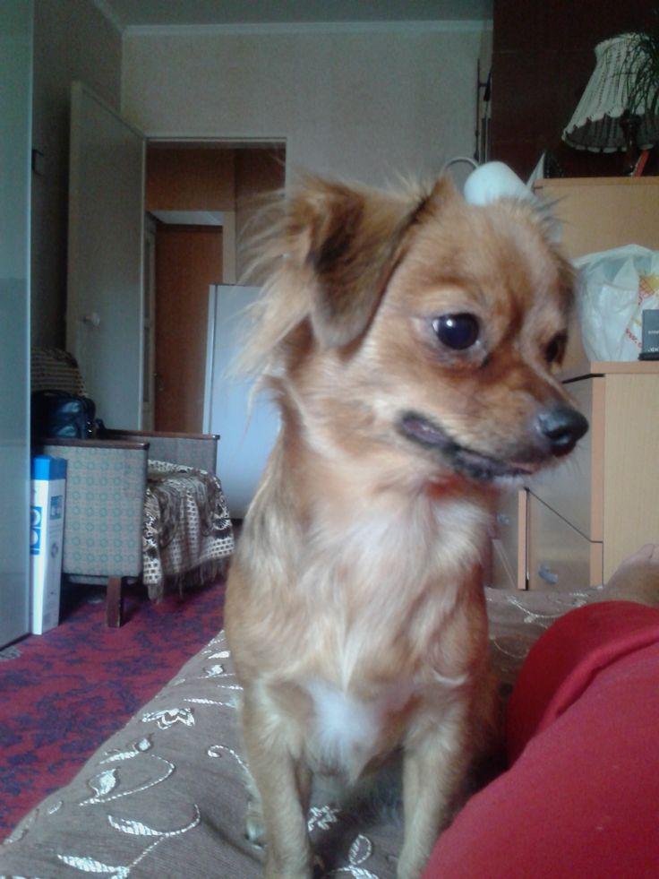 Маруся - собака странной породы. ее мама - карликовый пинчер, а папа - пекинес. Один мой приятель говорит, что она - пекинчер.