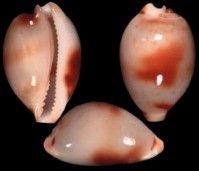 Nesiocypraea Azuma, M. & K. Kurohara, 1967 Type species : Nesiocypraea midwayensis midwayensis Azuma, M. & K. Kurohara, 1967. #Cowrie #Shell #Sea