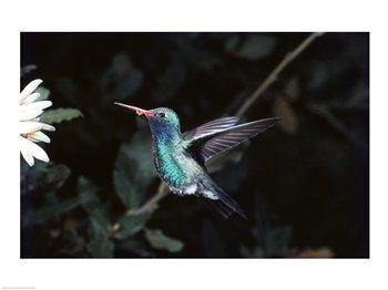 Broad Billed Hummingbird. A Hummingbird's only natural habitat is the America's. As. Far north as Alaska & as far sout as Chile. There are ove 300 types of species making them the 2nd largest species of birds in the Northern Hemisphere. Read on....