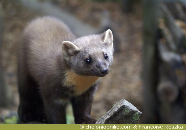 53 best h rissons sangliers fouines images on pinterest adorable animals hedgehogs and - Martre des pins ...