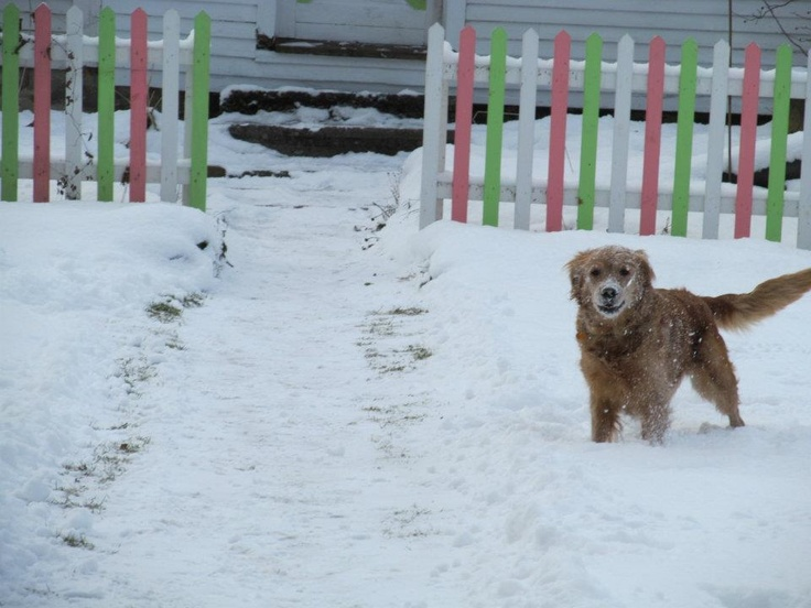 My dog loves the snow just like me. Ginger LOVE.