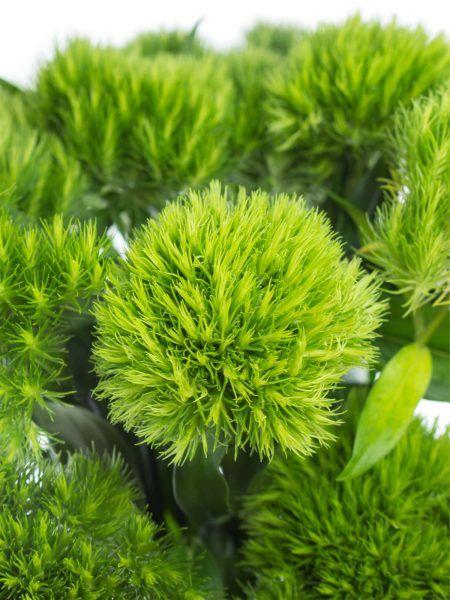 Grüne Bartnelken
