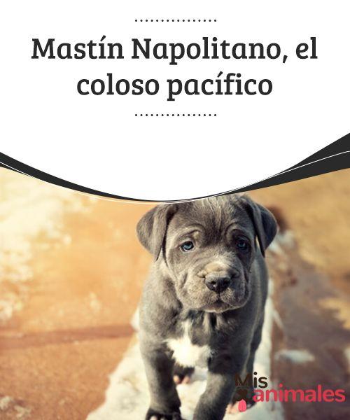 #Mastín #Napolitano el coloso #pacífico Se trata de uno de los perros más grandes del mundo, y desciende del ejemplar #canino más antiguo (Mastín Tibetano). En este artículo te contaremos todo sobre el Mastín Napolitano, un coloso leal, precioso, y de temperamento pacífico.