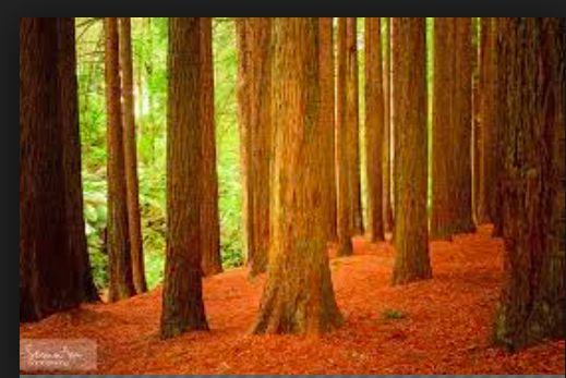 Beech Forest à Victoria california redwoods