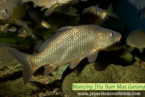 Untuk Anda Yang Sedang Mencari Cara Meracik Umpan Jitu Ikan Mas Garung Paling Ampuh Disini Kami Memberikan Resep Umpan Ikan Mas Fish Fish Pet Underwater World
