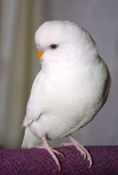 Albino Male American Parakeet Quot Cory Bird Watching