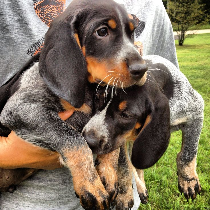 Bluetick Coonhound Dog / Grand Bleu de Gascogne Hounds