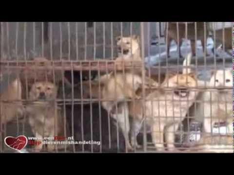 Een kijkje in de katten en honden vleesmarkt in China stop dierenleed
