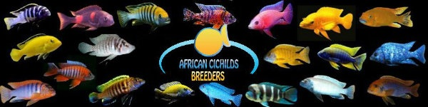 Do you breed African Cichlids or have African Cichlids feel free to join the group. African Cichlid breeders feel free to post pictures, description and links for what you have available for sale. If you own African Cichlids you can post your pictures as well. Feel free to chat away about African Cichlids we want this to be a happy community. African Cichlids fish species come from the Tanganyika, Malawai Lakes and Lake Victoria of central Africa.