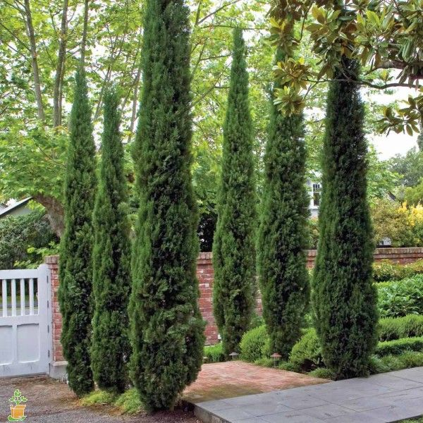 Italian Cypress Trees for Sale | The Planting Tree