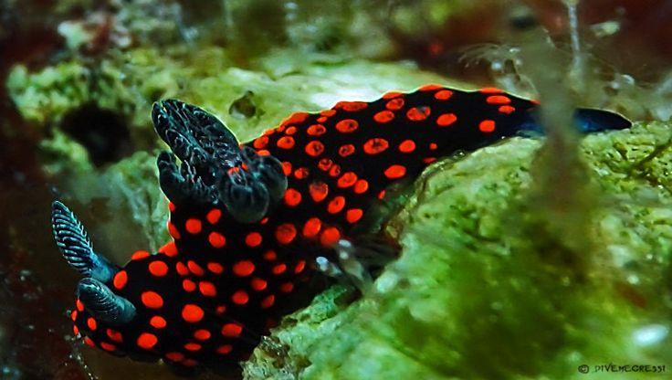 divemecressi  Nembrotha yonowae  Indonesia - North Sulawesi - Bangka Island