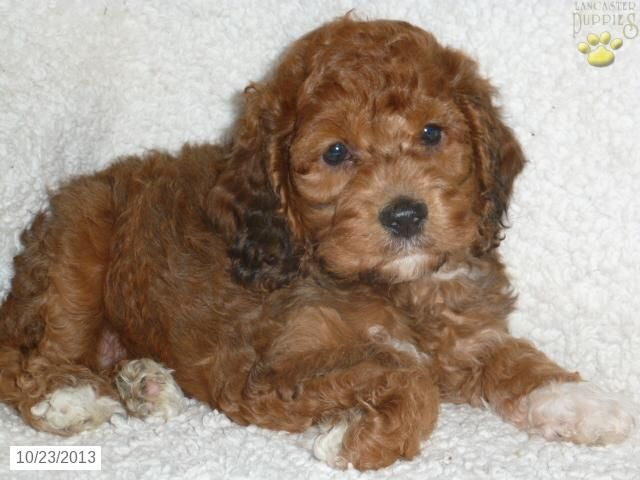 Red Robin  Cockapoo Puppy for Sale in Pottstown PA