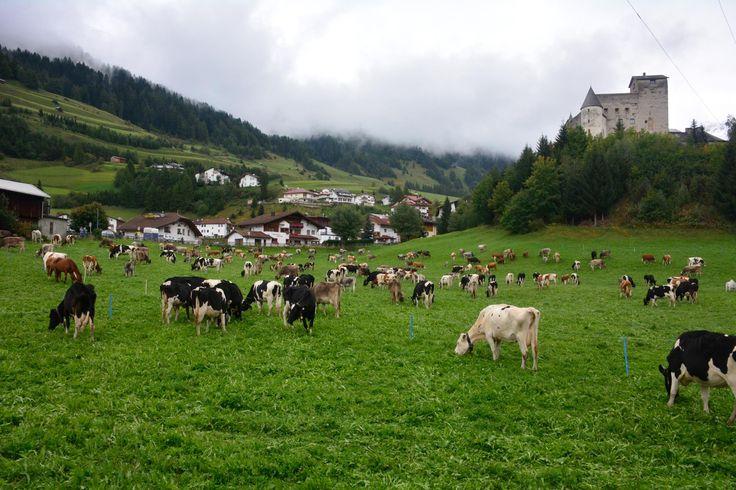 Kühe kehren von der Alm zurück- Traditioneller Almabtrieb in Nauders