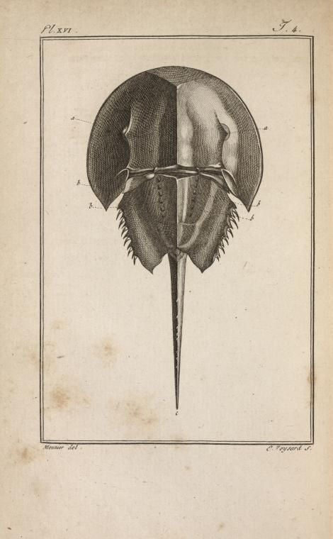 Le limule des Moluques, réduit, vu en dessus. From New York Public Library Digital Collections.