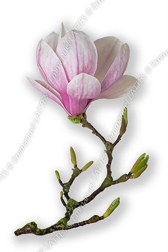 Magnolia flower and leaves buds