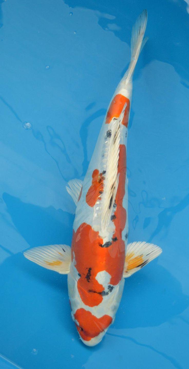 19 best koi carp images on pinterest koi carp fish and for Live japanese koi fish for sale