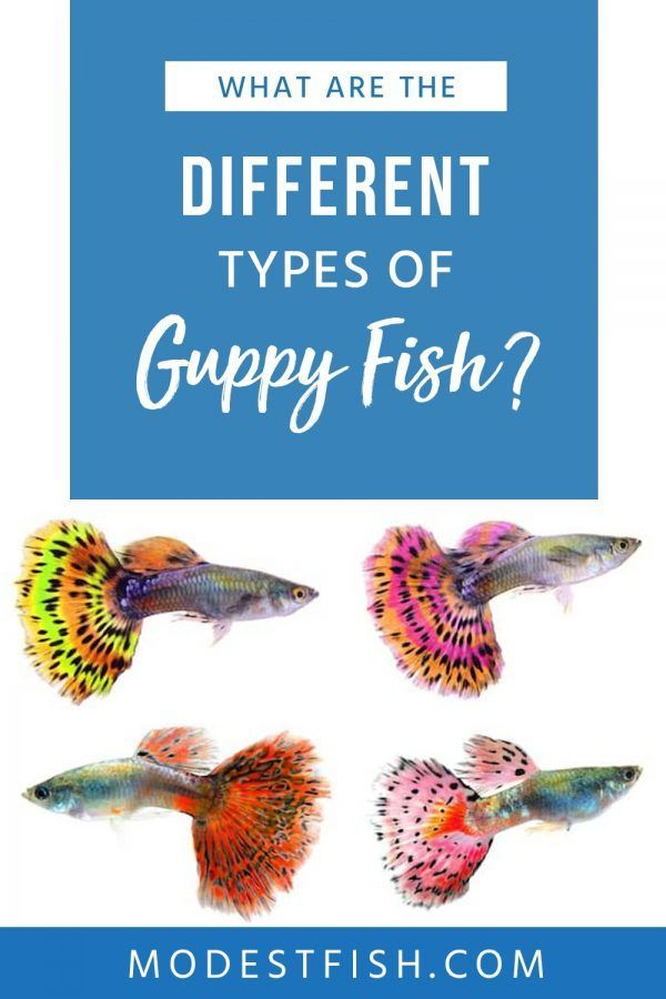 Use This Easy To Follow Guide To Learn The Different Types Of Guppy Fish You Ll Learn Inside Tips And Tricks To Ens Guppy Fish Fish Care Fishing For Beginners