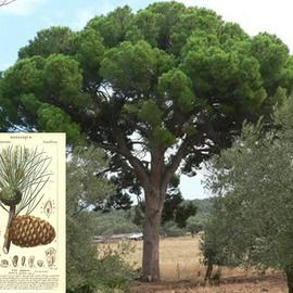 Borovica píniová na kmienku 170/200 cm, v črepníku Pinus pinea